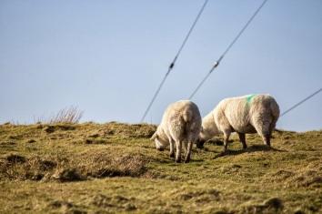 Sheep Life // West Coast, Ireland