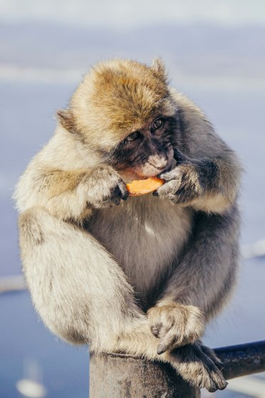 They are known as the only free living monkeys in Europe