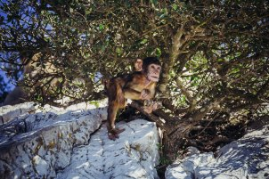 But the monkeys are as dependent on the tourists as the people in Gibraltar itself