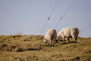 Sheeps on the irish Westcoast.