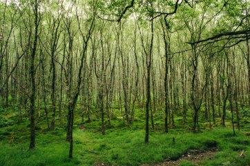 The dense forest in Glendalough.